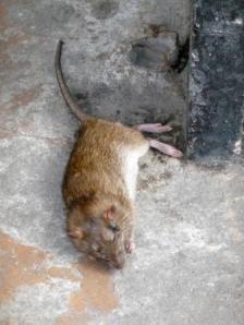 Agonía de una rata
